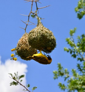 Weaver bird nest building in an acacia