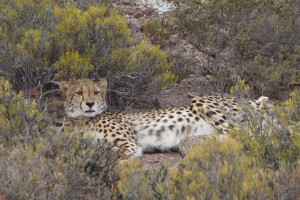 The cheetah at San Bona
